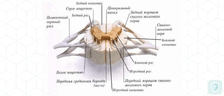 Характер изменении в спинном мозгу и периферических нервах