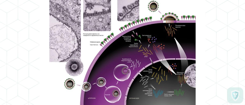 Размножение вируса гриппа