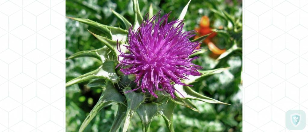 Полезные травы для печени: расторопша и ее уникальное действие